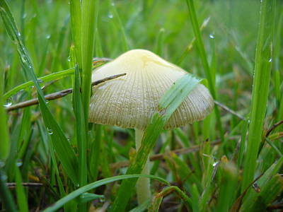 Photograph - Mushroom In Dew Covered Grass by Kent Lorentzen