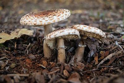 Photograph - Mushroom Trio Macrolepiota Procera by Frank Wilson