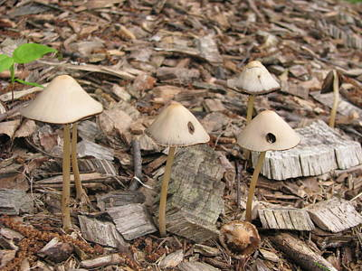 Photograph - Mushrooms by Hasani Blue