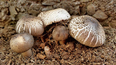 Photograph - Mushrooms by Pamela Walton