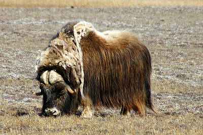 Photograph - Musk Ox by Anthony Jones