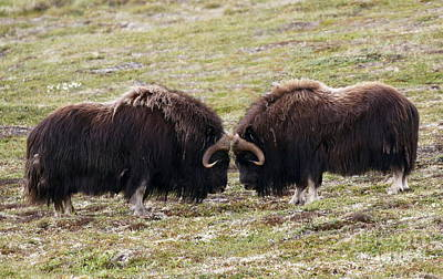 Photograph - Musk Ox Face-off by Myrna Bradshaw