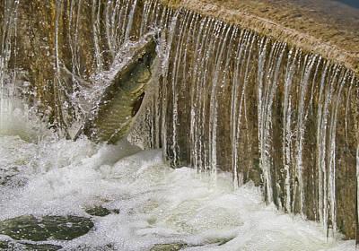 Photograph - Muskie 2 - Lake Wingra - Madison - Wisconsin by Steven Ralser
