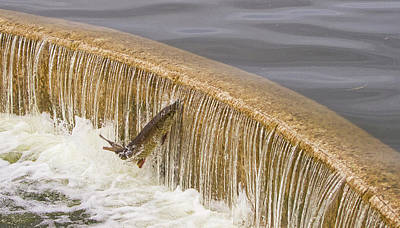 Photograph - Muskie 4 - Lake Wingra - Madison - Wisconsin by Steven Ralser