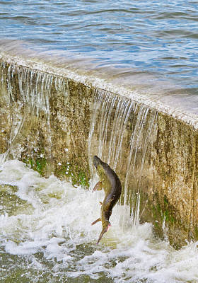 Photograph - Muskie - Lake Wingra - Madison - Wisconsin by Steven Ralser
