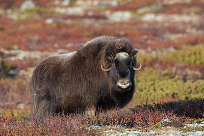 Photograph - Muskox In Autumn by Arterra Picture Library
