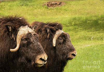 Photograph - Muskox Mamas by Louise Magno