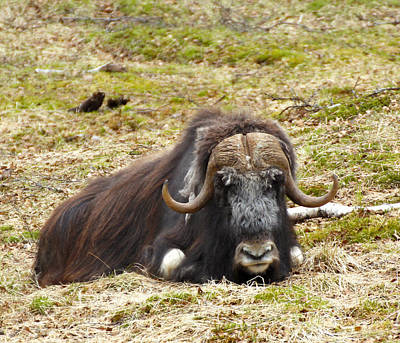 Painting - Muskox Of Norway by Robert SORENSEN