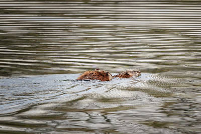 Photograph - Muskrat Mating Victory by Joni Eskridge