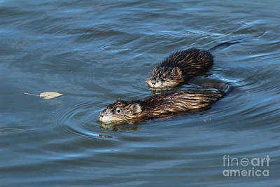 Photograph - Muskrat Pair by Ann E Robson