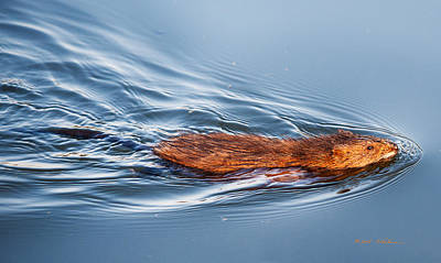 Photograph - Muskrat Speed Swiming by Edward Peterson