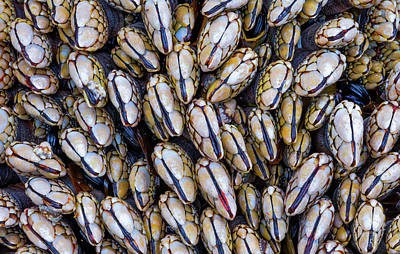 Photograph - Mussel Grouping by Darren White