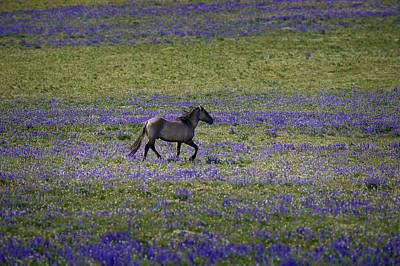 Photograph - Mustang In Lupine 1 by Roger Snyder