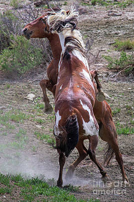 Photograph - Mustang Madness by Jim Garrison