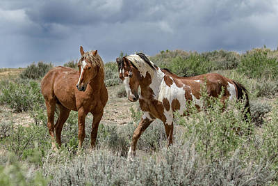 Photograph - Mustang Stallions by Dawn Key