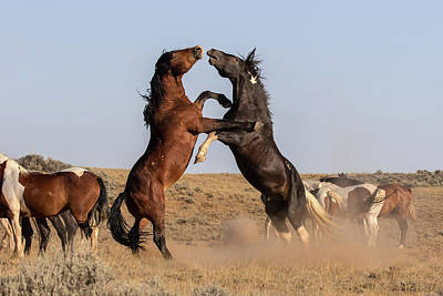 Photograph - Mustang Stallions by Jack Bell