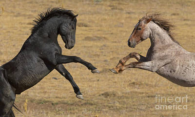 Photograph - Mustang Stallions Playing by Yva Momatiuk John Eastcott