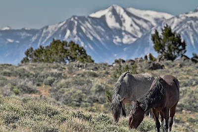 Photograph - Mustangs In The Sierra Nevada Mountains by Waterdancer