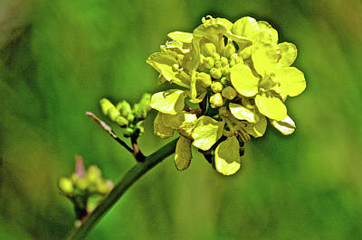 Photograph - Mustard Closeup On Muir Beach In Muir Woods National Monument, California  by Ruth Hager