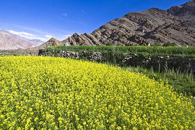 Photograph - Mustard Field, Hemis, 2007 by Hitendra SINKAR