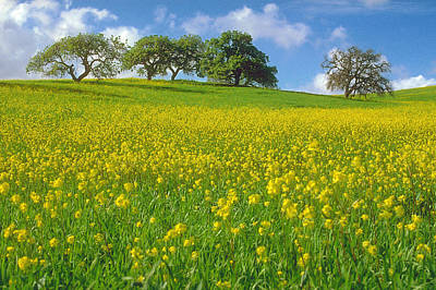 Photograph - Mustard Field by Mark Greenberg