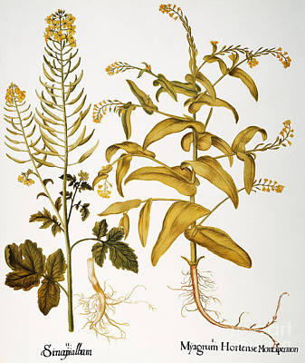 Photograph - Mustard Plant, 1613 by Granger