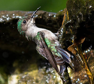 Mustique Photograph - Mustique Hummingbird by Brian Henderson