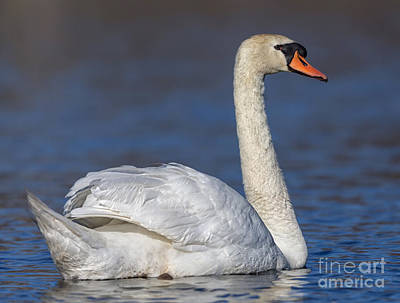 Animal Surreal - Mute Swan 1 by Jerry Fornarotto