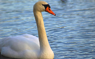 Mute Swan 3 Art Print by Mark Platt