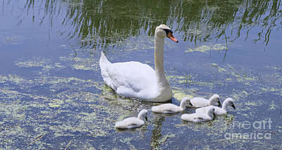 Movies Star Paintings - Mute Swan and Cygnets by Ann Horn