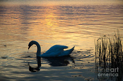 Photograph - Mute Swan At Sunset by Kennerth and Birgitta Kullman
