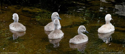 Photograph - Mute Swan Babes by JGracey Stinson