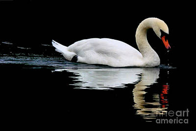 Photograph - Mute Swan  by Baggieoldboy