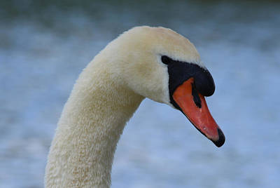 Photograph - Mute Swan By The Avon by Richard Andrews