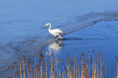Photograph - Mute Swan Climbs On The Ice by Ismo Raisanen