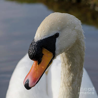 Photograph - Mute Swan Cob by Steev Stamford