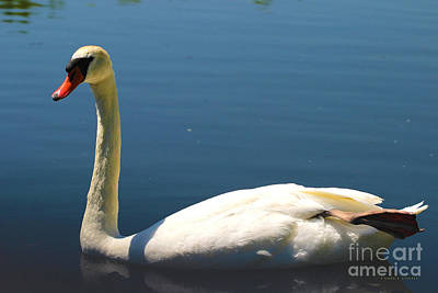 Wildfowl Painting - Mute Swan by Corey Ford
