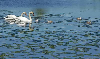 Photograph - Mute Swan Family by Debbie Oppermann