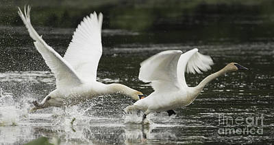 Photograph - Mute Swan Intimidation by Jeannette Hunt