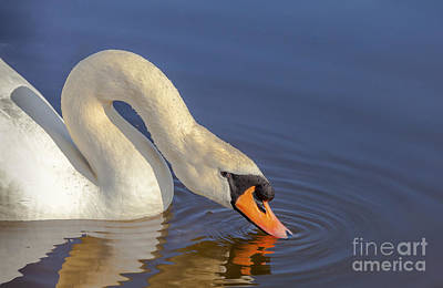 Photograph - Mute Swan by Jim Orr