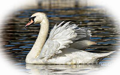 Photograph - Mute Swan by Kathy Baccari