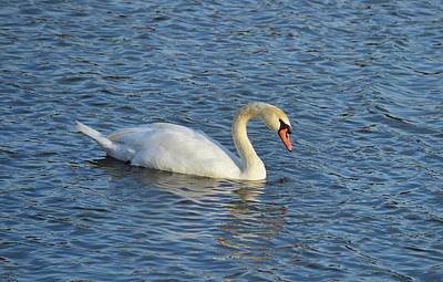 Photograph - Mute Swan by Kathy Eickenberg