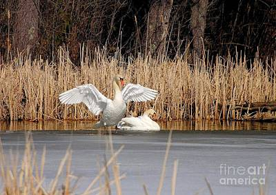 Photograph - Spring Arrival Swans by Debbie Stahre