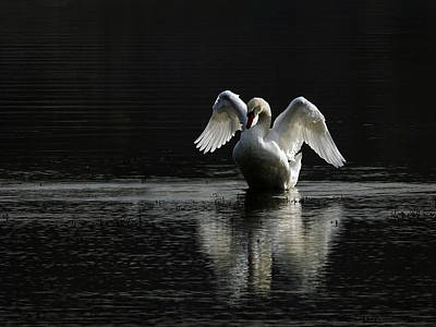 Photograph - Mute Swan Reflecting by Inge Riis McDonald