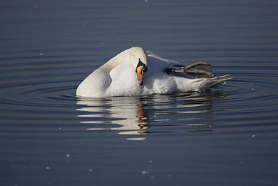 Photograph - Mute Swan Resting In Rippling Water by Tony Mills