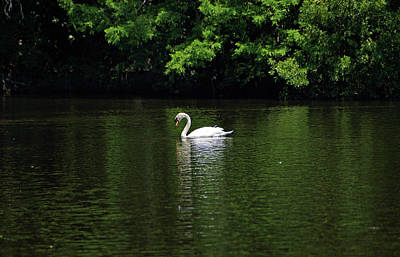 Print featuring the photograph Mute Swan by Sandy Keeton