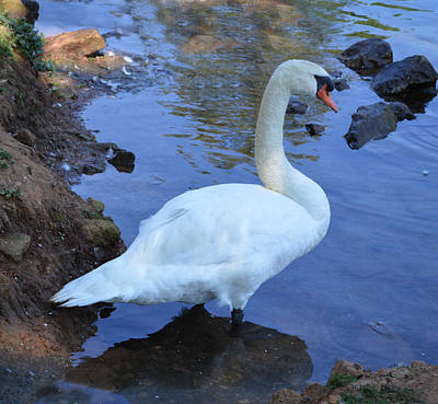 Photograph - Mute Swan - Spring Park Tuscumbia Alabama by rd Erickson