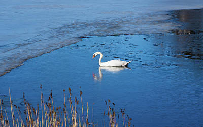 Photograph - Mute Swan Swimming by Ismo Raisanen