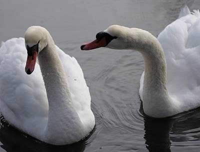 Photograph - Mute Swans by Christopher Kirby