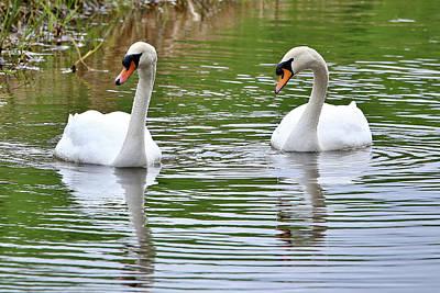 Photograph - Mute Swans by David Bradley